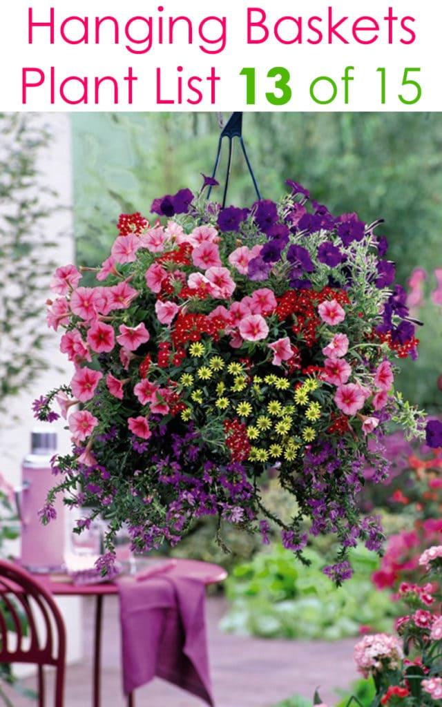 Purple and pink Petunias in hanging basket