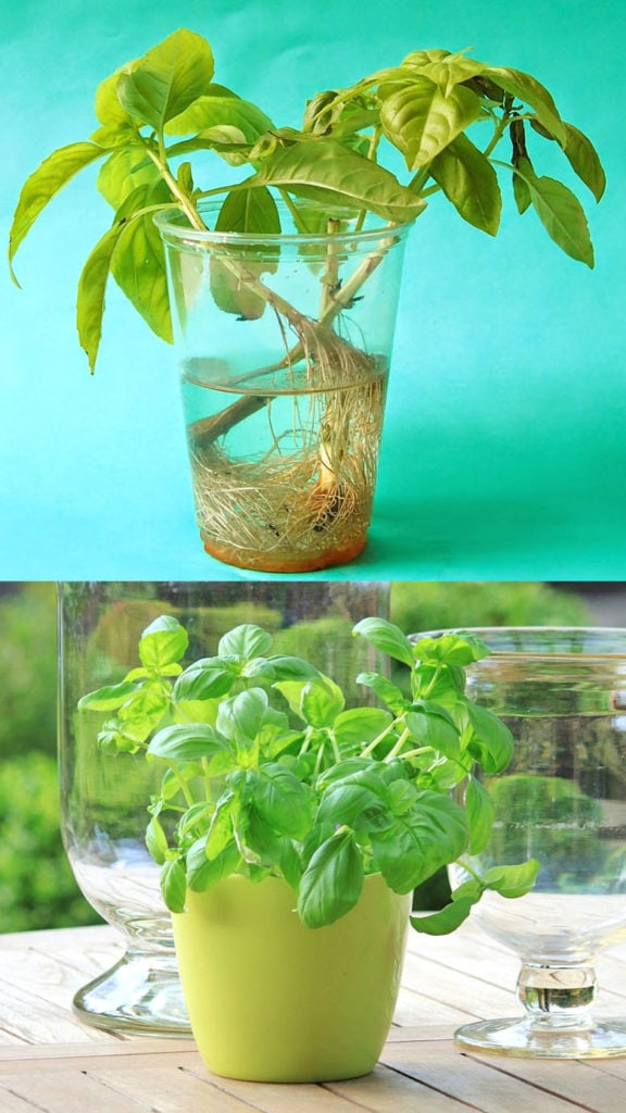 Grow basil stems in water