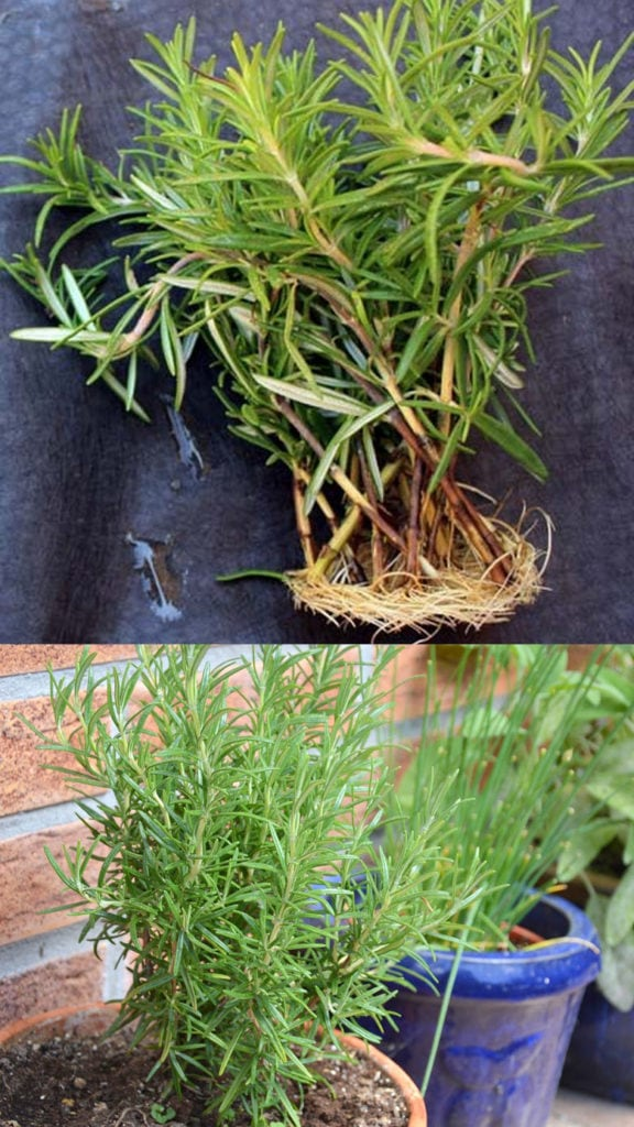 young green Rosemary stems are easier to propagate than old woody stems.