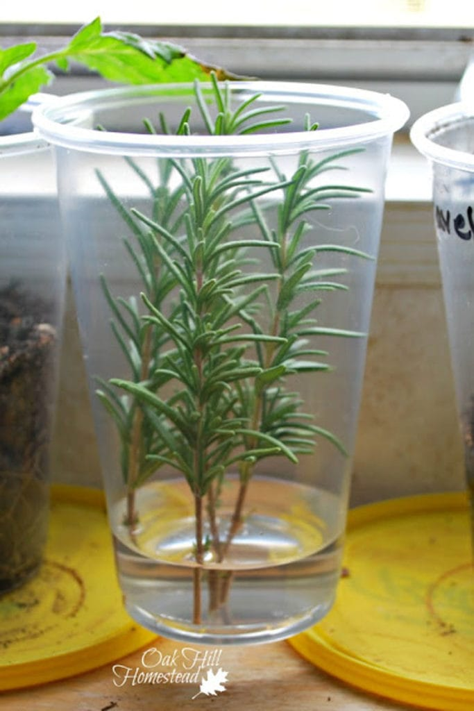 Rosemary stems take roots in water
