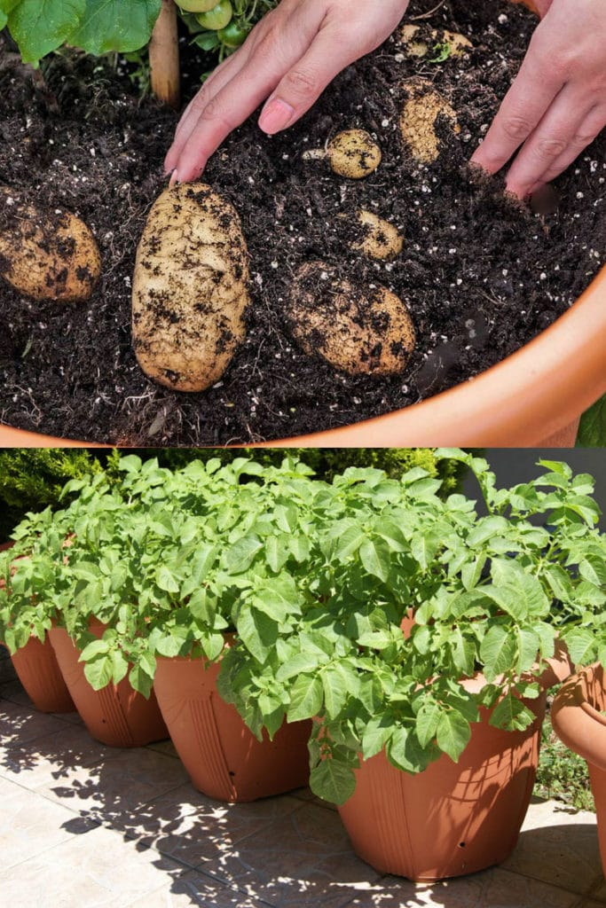 Grow grocery store potatoes in pots