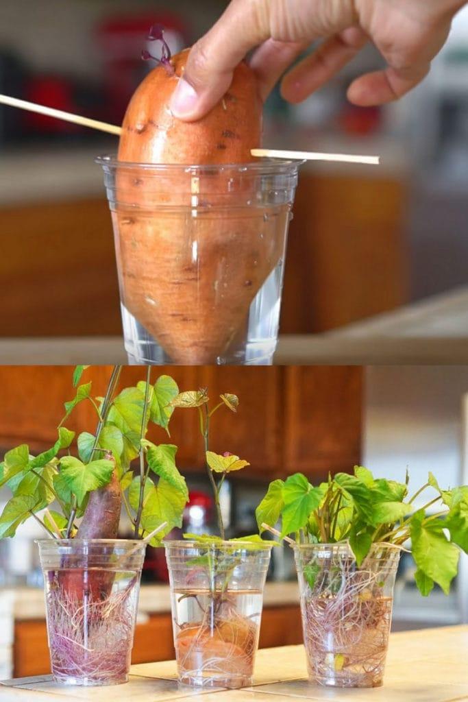 Grow sweet potatoes in water