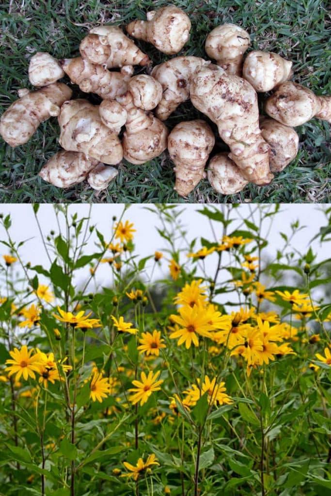 Jerusalem artichokes grow like a sunflower garden