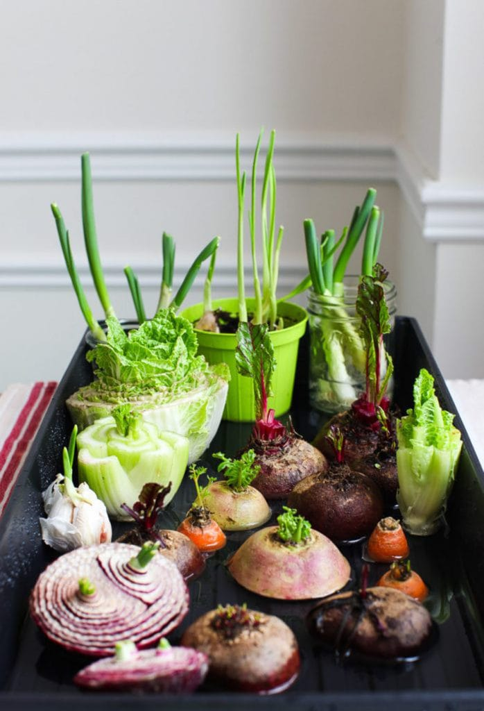 regrow vegetables & herbs from kitchen scraps in water , a windowsill garden indoors with grocery lettuce, beets, carrots, onion, celery, cabbage