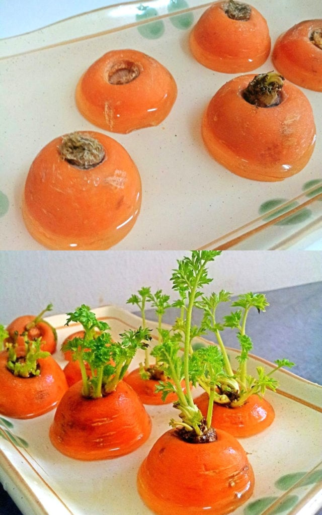 Growing carrots from scraps.