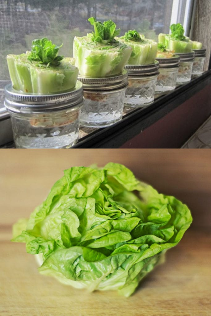 Regrow lettuce from kitchen scraps.