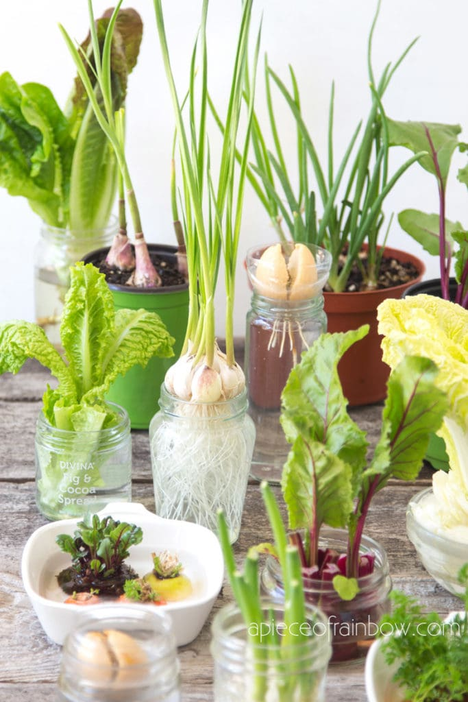 regrow kitchen scraps, great idea for homestead, green living, gardening indoors and outdoors, creative things to do with kids, home school ideas