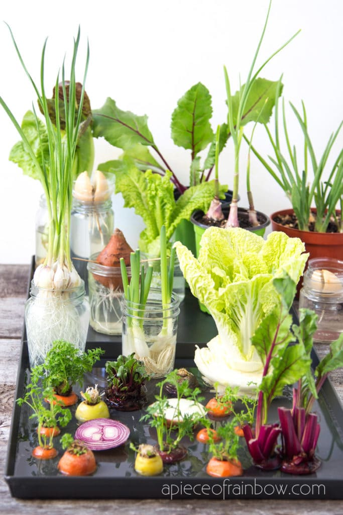 regrow kitchen scraps in water and soil, great idea for homestead, green living, gardening activity with kids, home school ideas