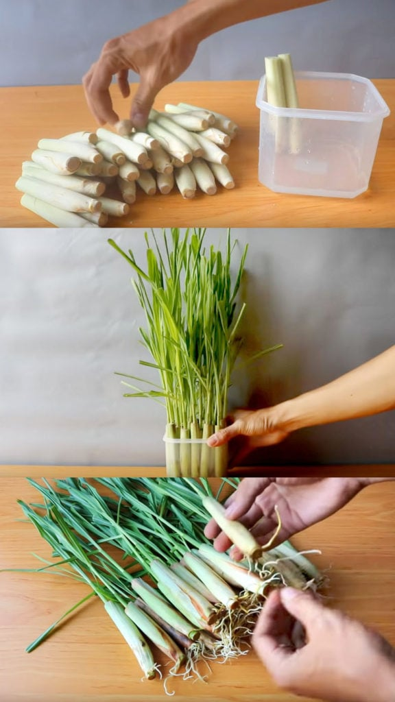 Regrow lemongrass from kitchen scraps