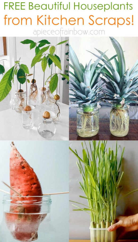 Regrow kitchen scraps like mango seed, avocado pit, pineapple top, lemon seeds, ginger, lemongrass, into beautoful houseplants and free garden plants