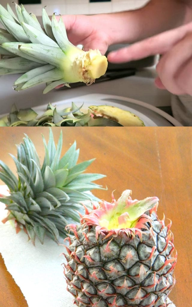 Regrowing pineapple top in water or soil
