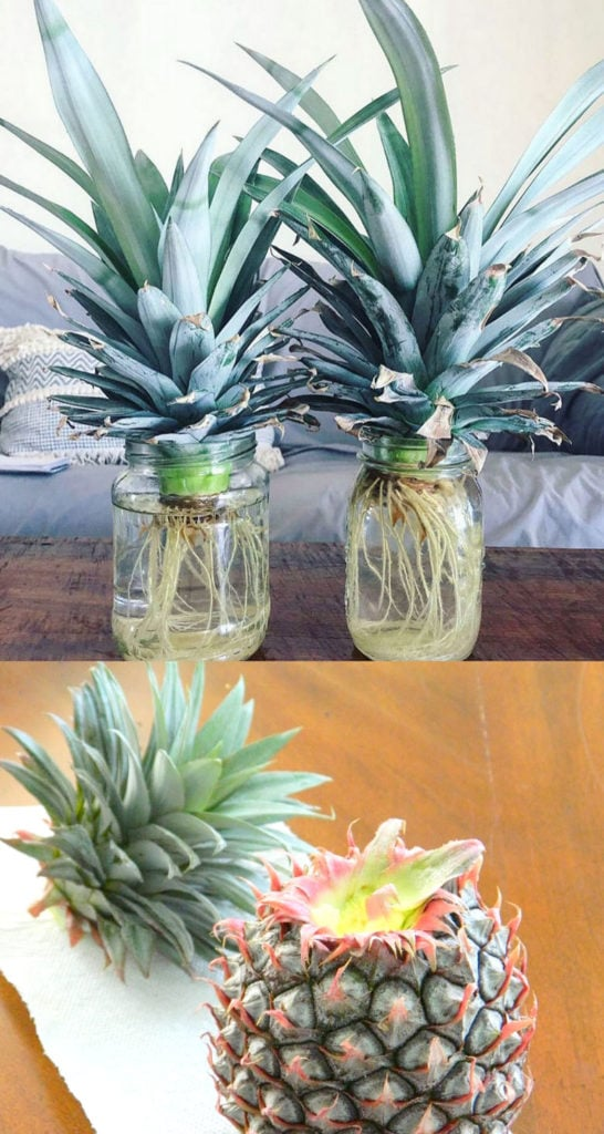 grow pineapple in water