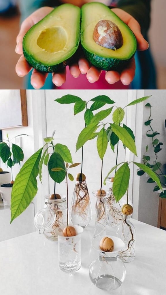 Grow avocado tree from seed