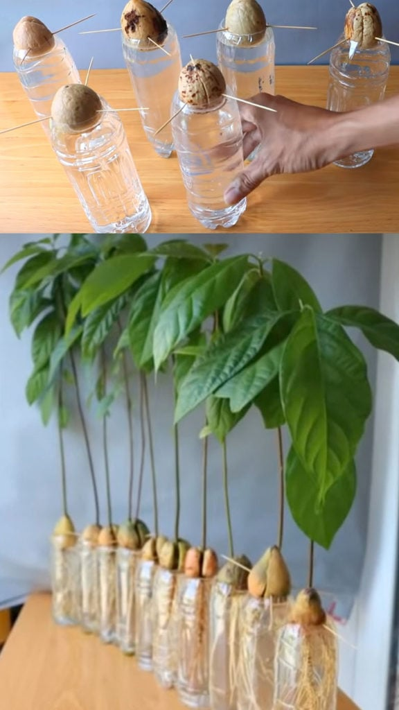 how to grow avocado in water with toothpicks