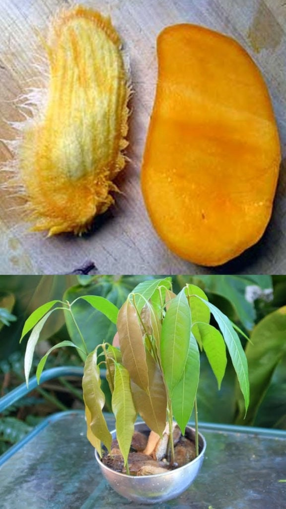 grow mango from seed