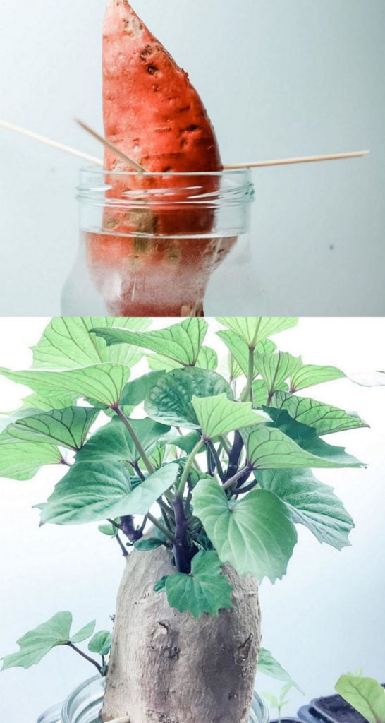 Regrow a sweet potato in water