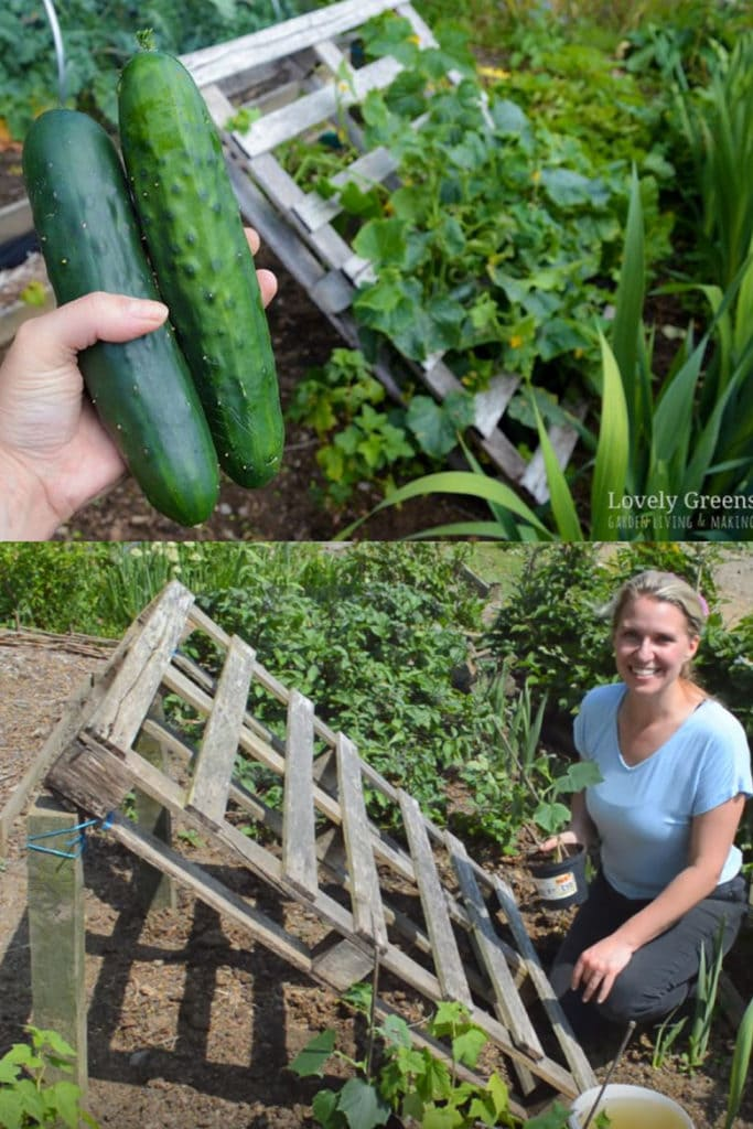 how to build a Pallet cucumber trellis