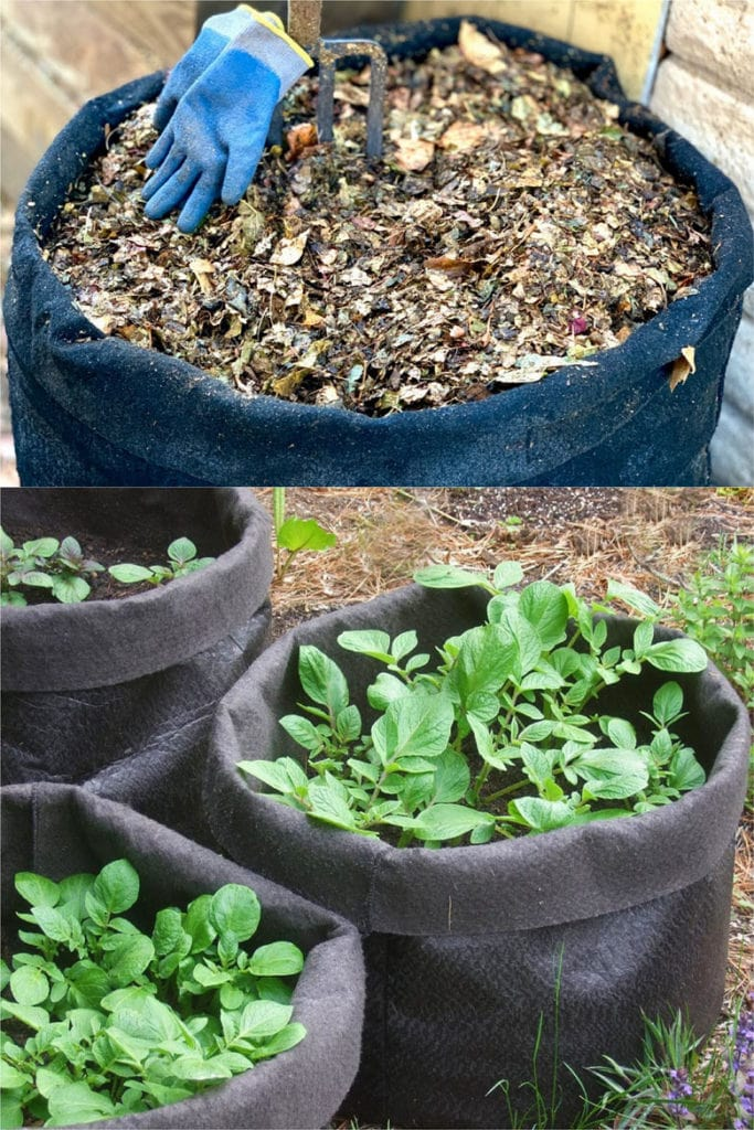 fabric pots with potato growing