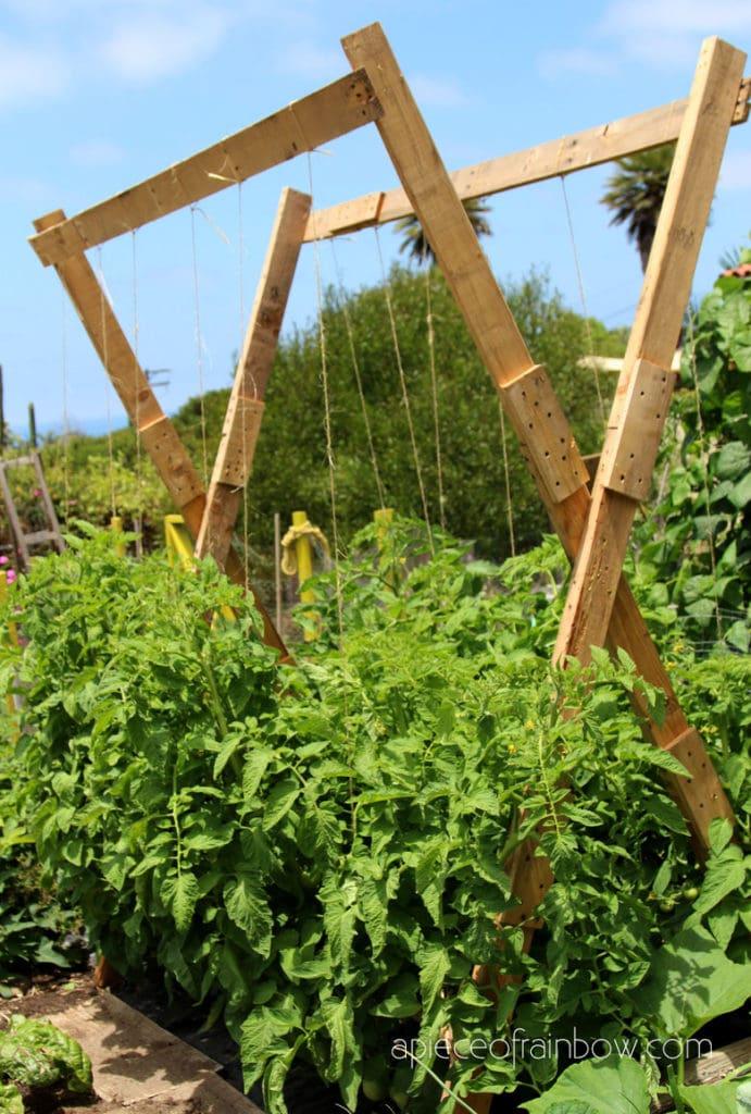 big tall tomato plants growing on a garden trellis