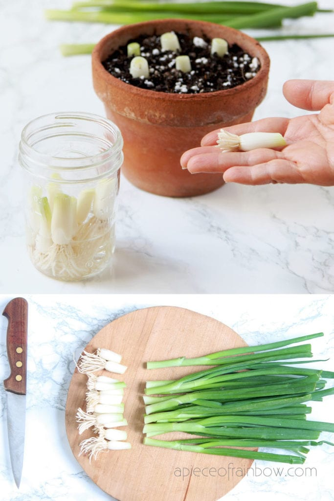 scallions cuttings with roots in water or plant them in soil