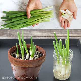 How to regrow green onions, scallions, spring onions from kitchen scraps infinitely! Two fast & easy ways to grow cuttings in water or soil indoors or outdoors for endless harvests!