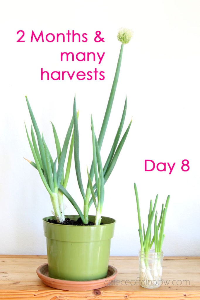 grow big green onions in soil