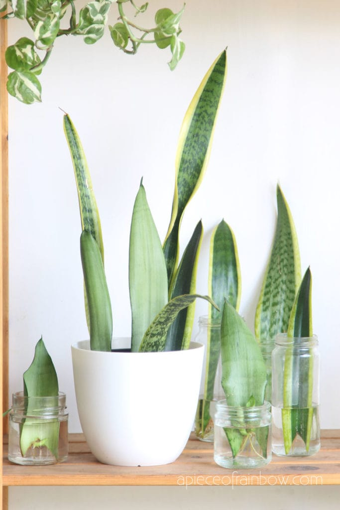 grow Sansevieria snake plants in water and soil