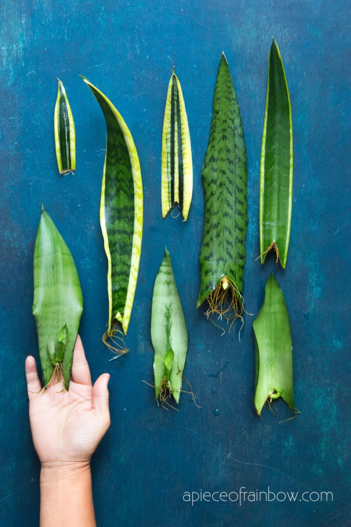 propagate Sansevieria   Snake Plant by leaf cuttings in water
