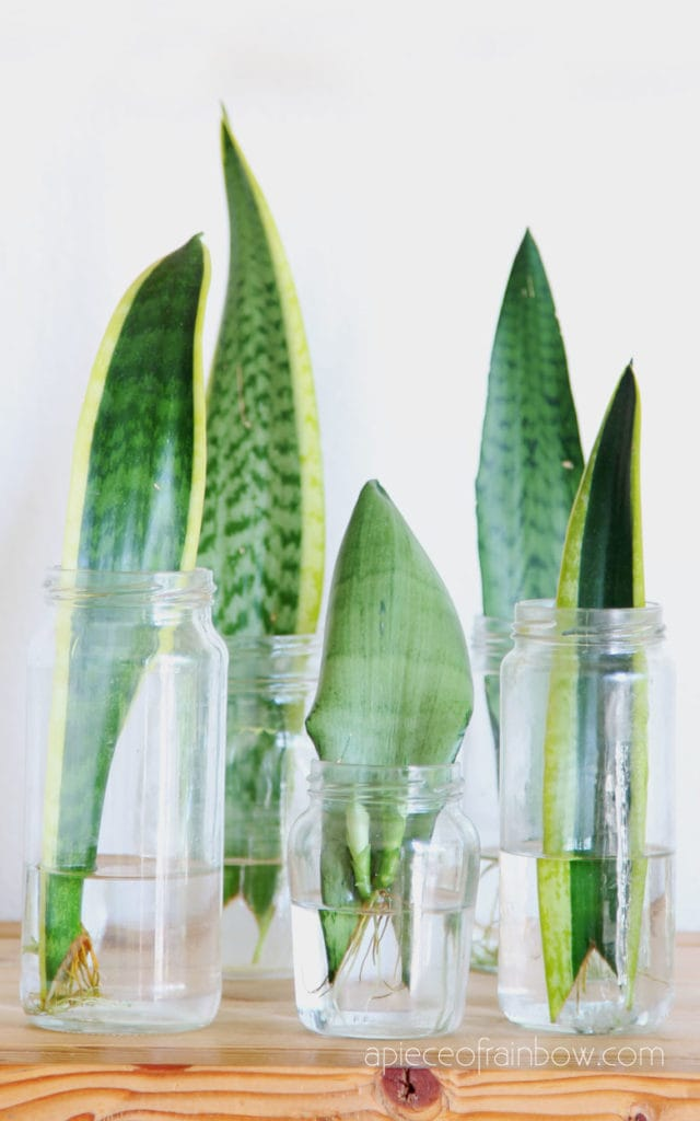 Sansevieria roots in water