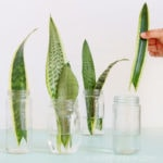 How to propagate Sansevieria ( aka Snake Plant) in water or in soil easily, by leaf cuttings or division of rhizomes. Pros & cons of 3 best rooting methods!