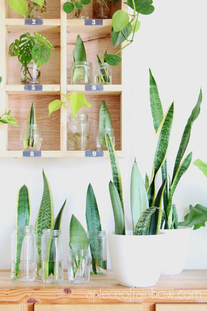 Easy Snake Plant care tips such as sun light, soil, water, temperature, & propagation. How to grow beautiful healthy Sansevieria plants indoors & outdoors!