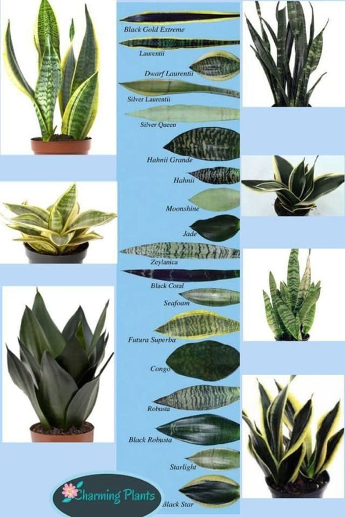 snake plant /  Sansevieria varieties identification chart