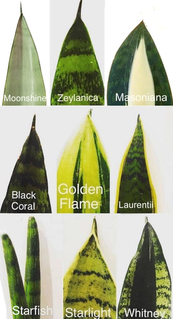 identify the best Snake plant / Sansevieria varieties in on chart