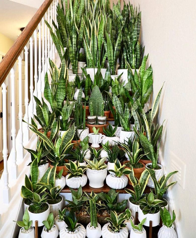 lots of Sansevieria  Snake plants in pots on stairs