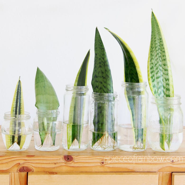 Sansevieria / snake plant grow in water