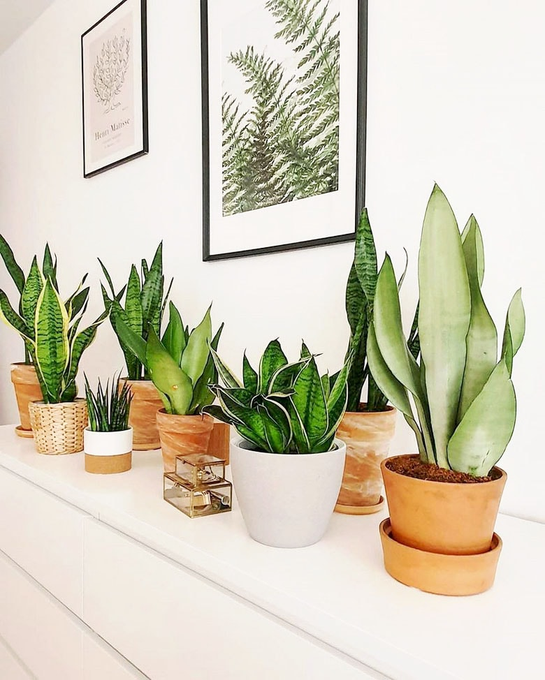 indoor Snake Plant care