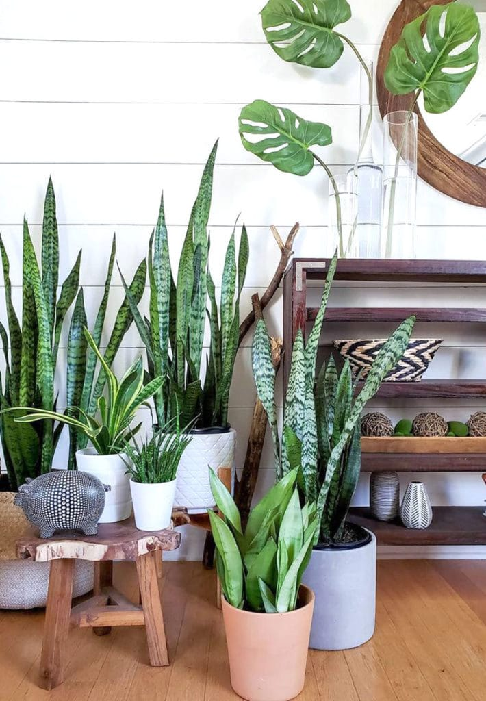 Sansevieria 'Moonshine', zeylanica, cylindrica and 'Laurentii' in modern farmhouse boho room with shiplap wall