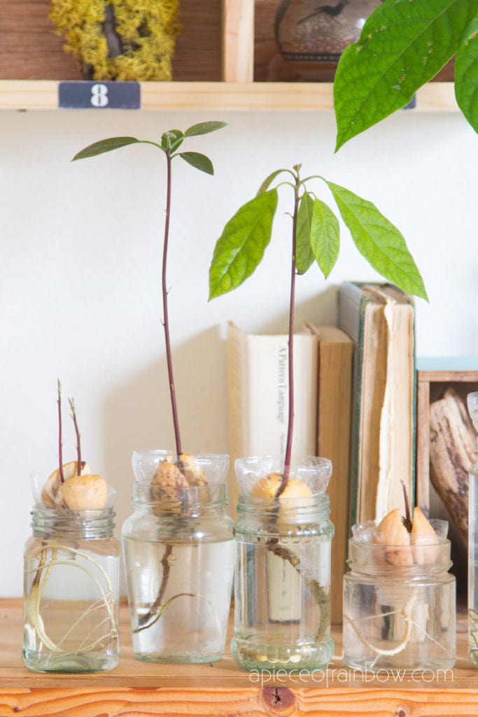 grow avocado plants indoors in water or soil