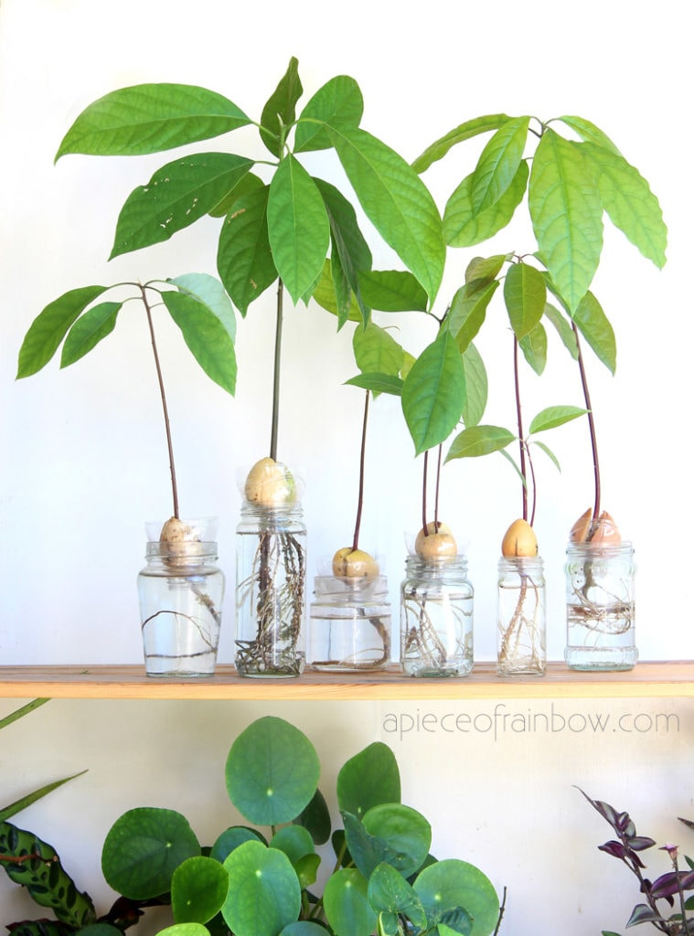 propagation station with beautiful avocado trees