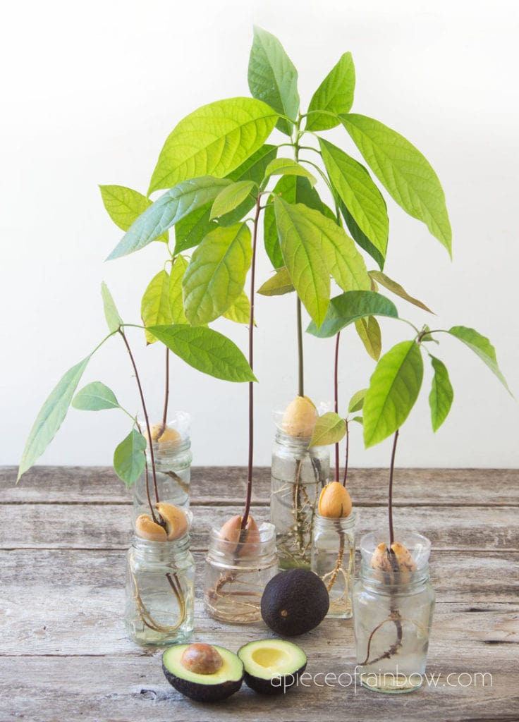 grow beautiful avocado plants in water from seed pits