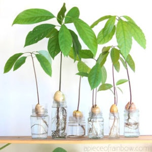 2 easy ways to grow avocado tree from seed in soil or water, better than toothpicks method! Best tips on germination, indoor & outdoor planting, & more!