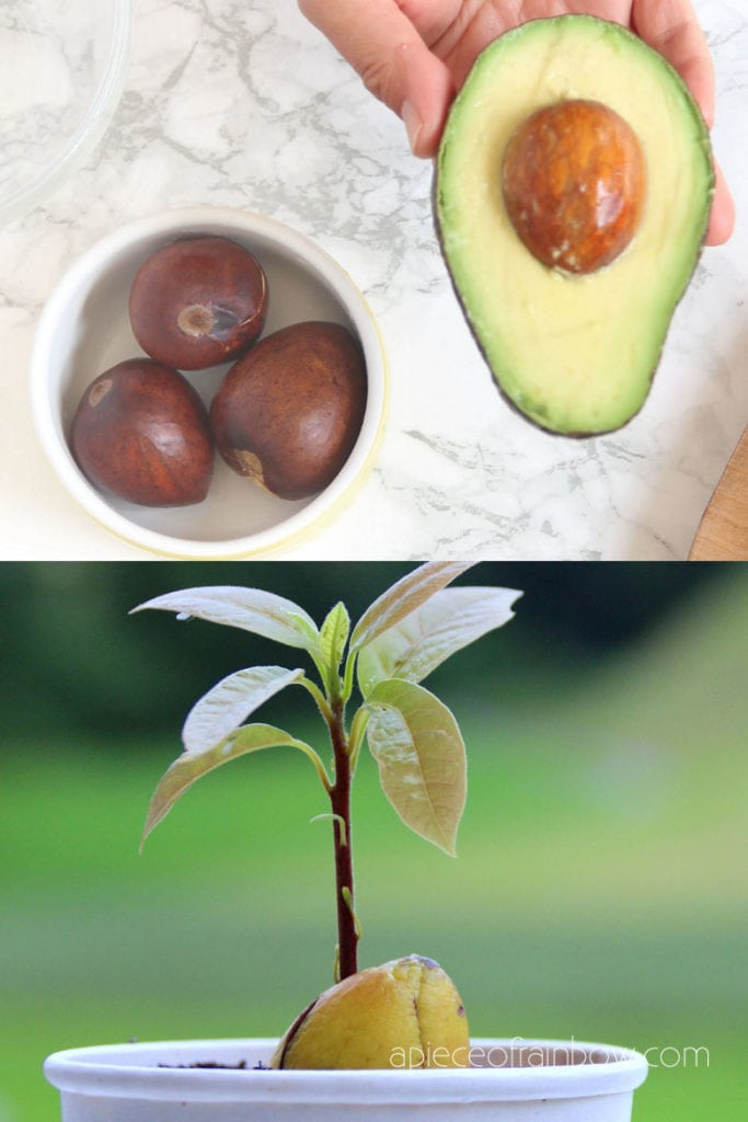 grow avocado seedling in soil