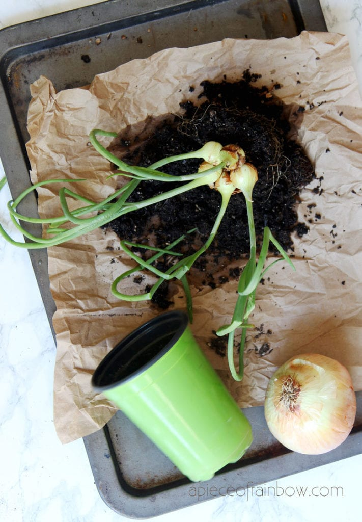 a piece of onion scrap growing in a small pot already has five onion bulbs