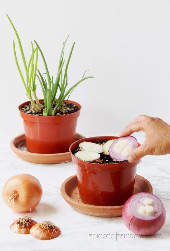 plant onion scraps in pot with soil