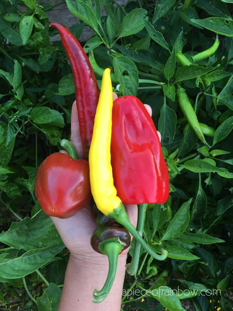 many pepper varieties are very productive and easy to grow.