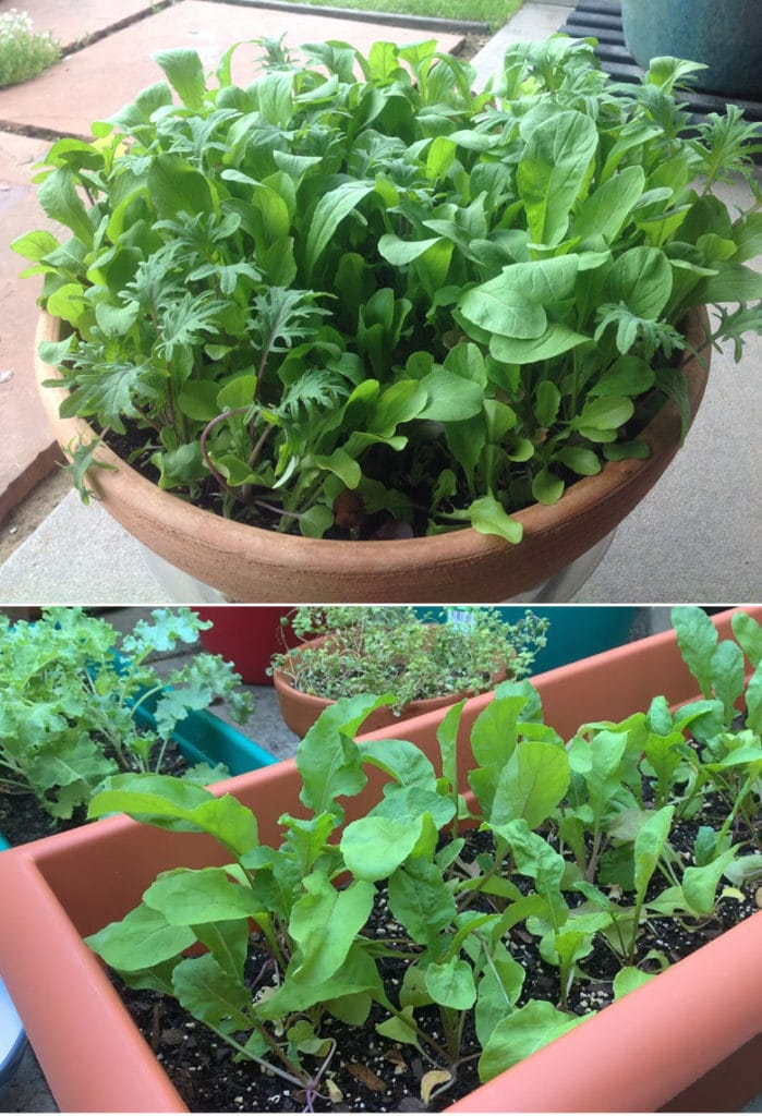 Arugula: easiest vegetables to grow for first time beginner gardeners