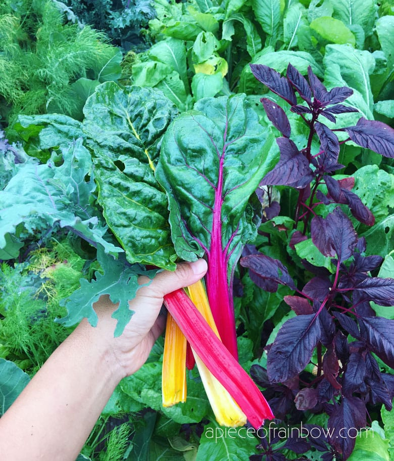 Swiss Chard: easiest vegetables to grow all year round