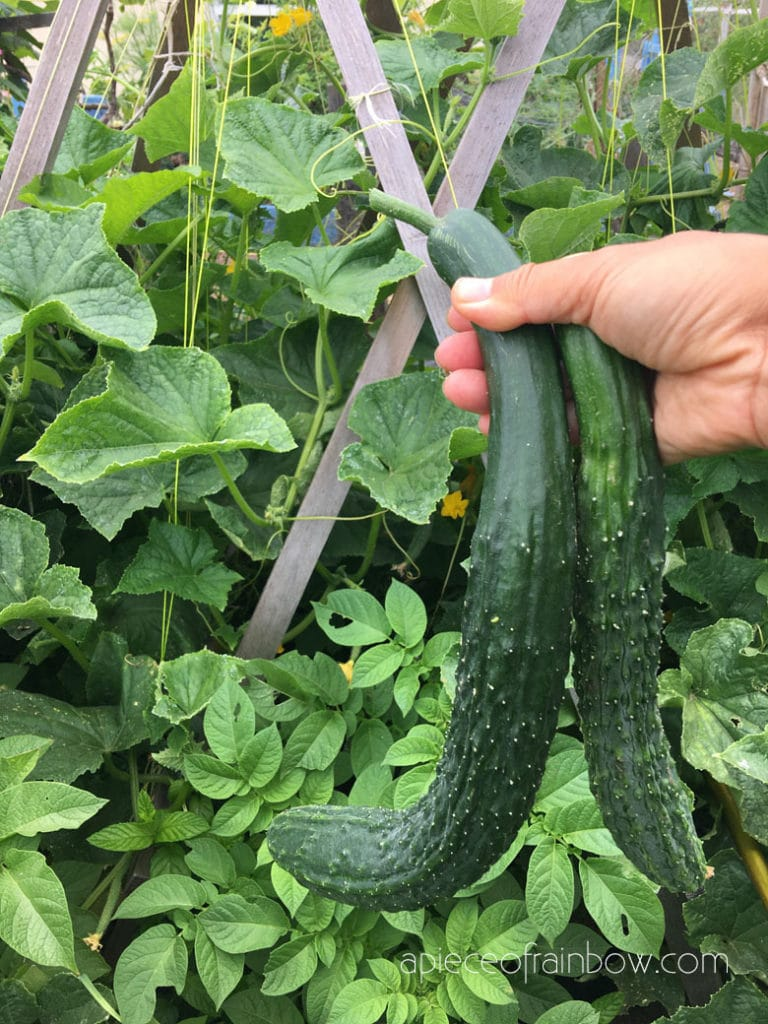 Cucumbers are easy and fast growing vegetables, and productive