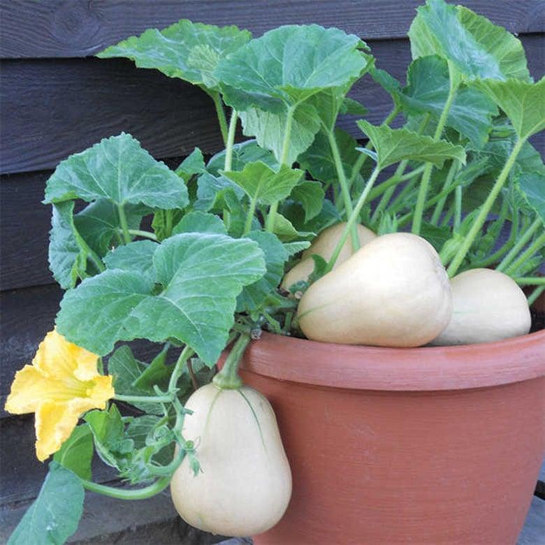 grow Butternut squash in pots