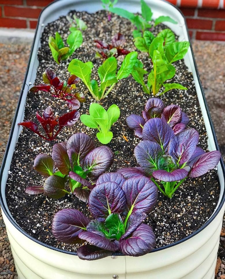 Red Giant Mustard growing in containers